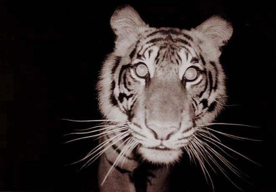 tiger selfie mongabay.com
