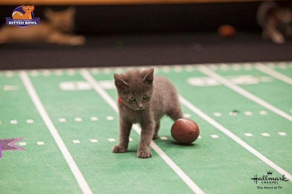 Kitten Bowl gray kitten