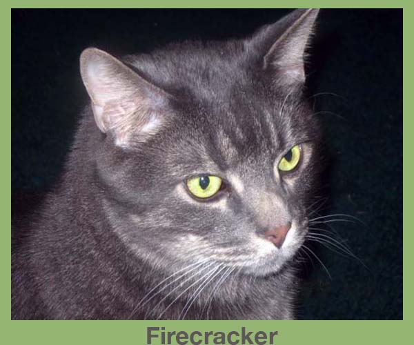 Laura Malone's Cat Firecracker