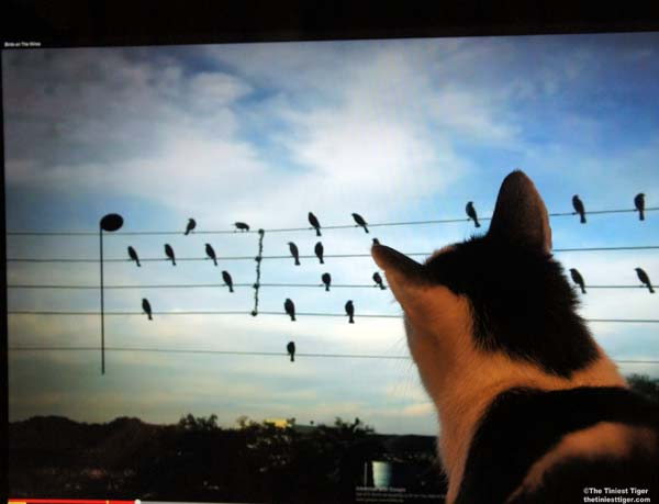 Cat Watching Birds on the Wires