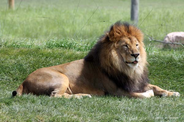 Lion Heart of Africa Columbus Zoo