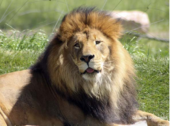 Protection for the Lion Under Endangered Species Act