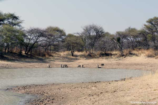 Warthogs at Namibian Water hole