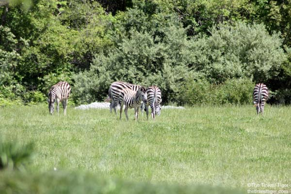 Zebra in the Heart of AFrica