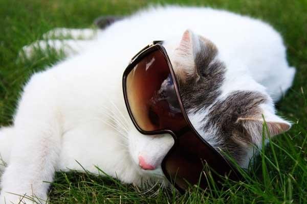 cat in grass in sun glasses