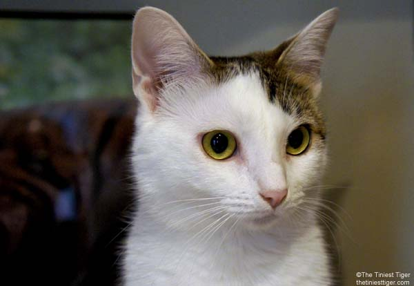 June is Adopt A Cat Month   #AdoptACatMonth