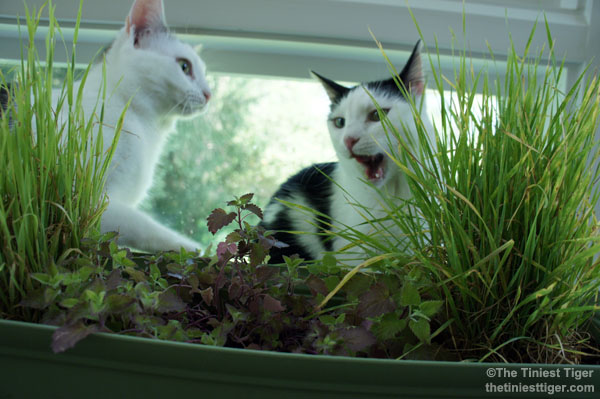 Bring The Outdoors To Your Indoor Cats With a DIY Cat Garden  #BlogPawsDIY