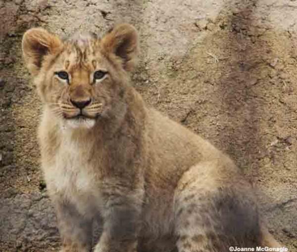 Lion cub the Columbus Zoo