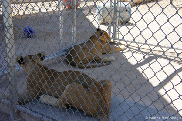 young lions in small cage