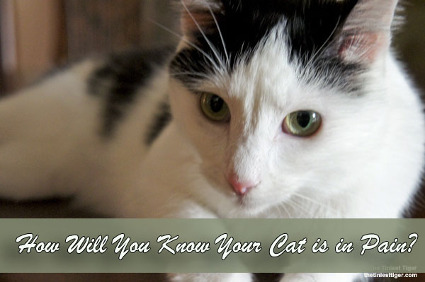 How Will You Know Your Cat is in Pain?   #ProTips