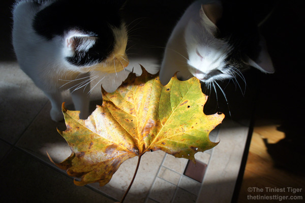 Cats, Coffee and a Big Maple Leaf