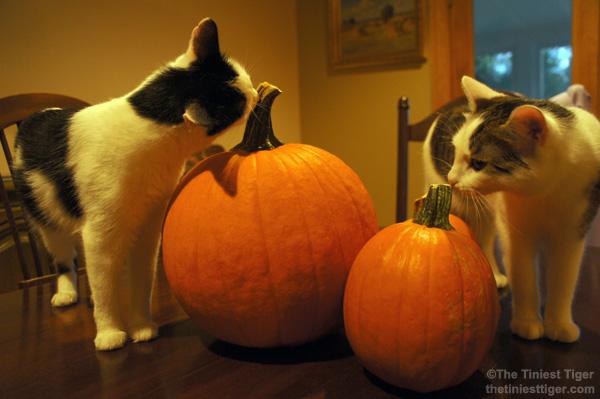 Annie Eddie nibble pumpkin