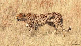 Namibia: Land of the Cheetah Premieres on PBS