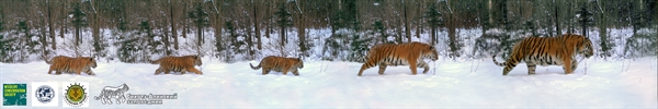 Amur Tiger Father Leads Family Through Snow