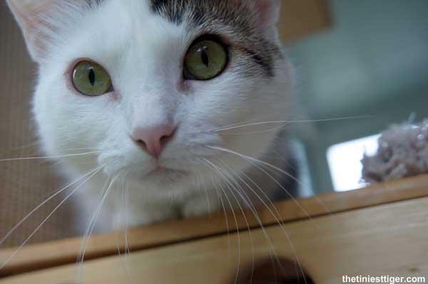 ProPlan GoPro Hero Giveaway #CatsTrueNature