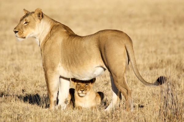 African lioness with cub