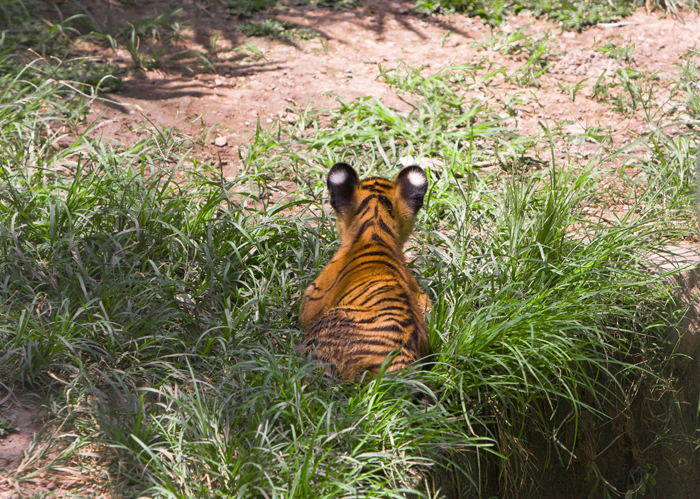 India's Project Tiger Endangered By Funding Cuts