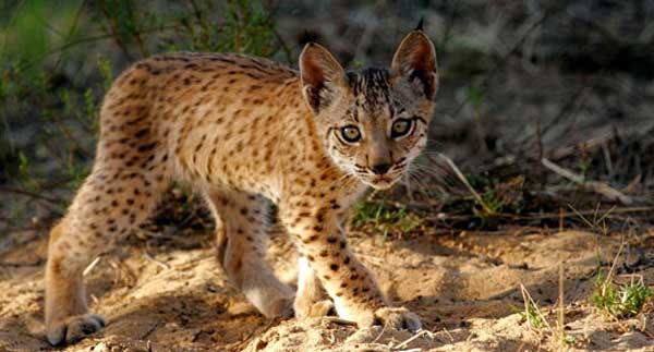 Good News For Earth's Most Endangered Cat