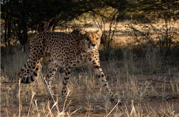 Amani Cheetah CCF