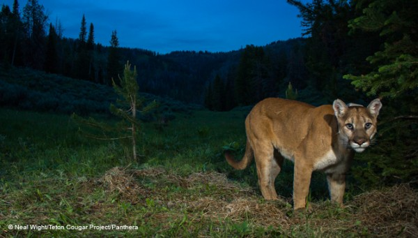 Cougar Teton Project Image
