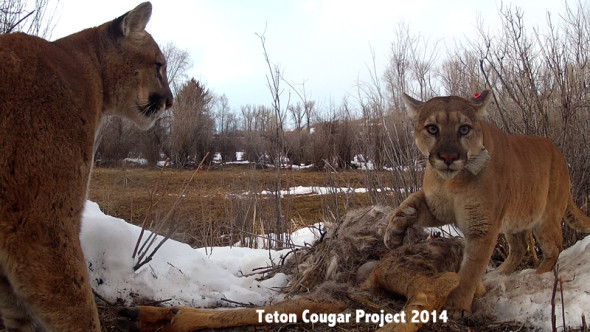 Teton Cougar Project image