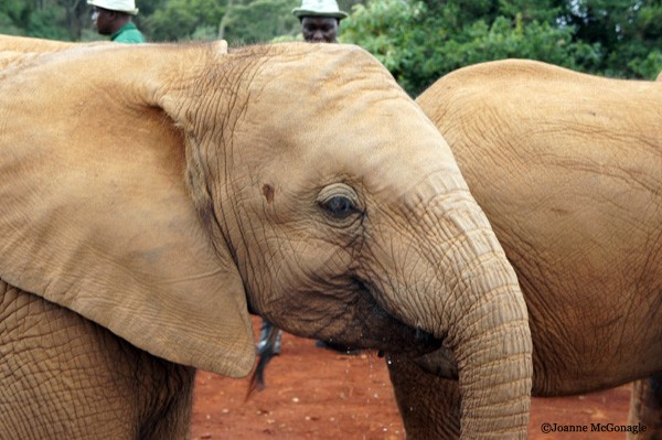 baby elephant at DSWT