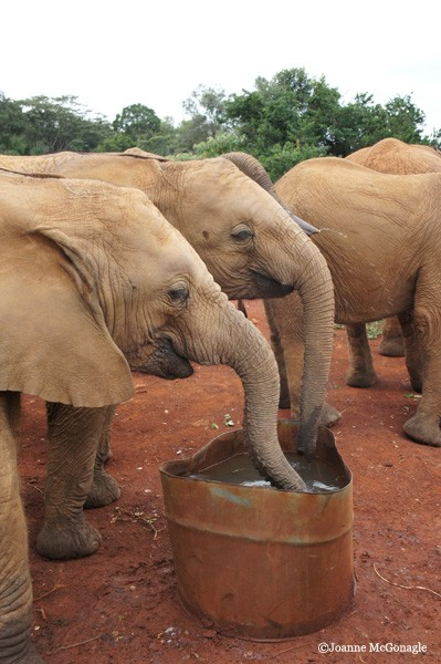 baby elephants drinking water