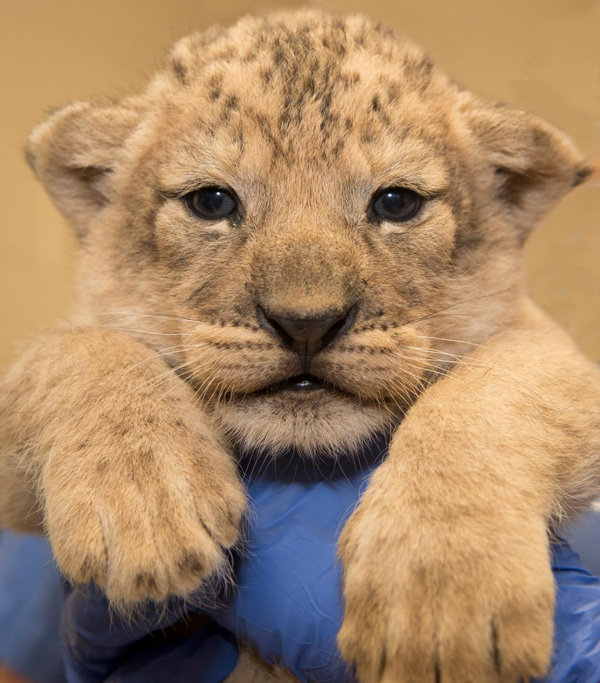 Lion Cubs Born At The Columbus Zoo