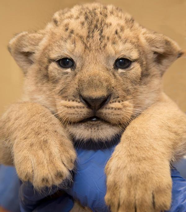 Lion Cubs Born At The Columbus Zoo
