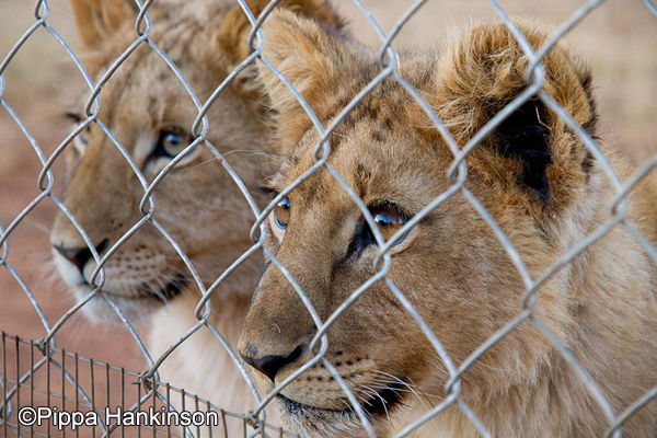 Blood Lions  The Terrible Truth Behind Canned Hunting