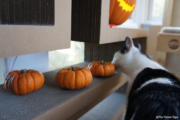 Eddie checks out more pumpkins