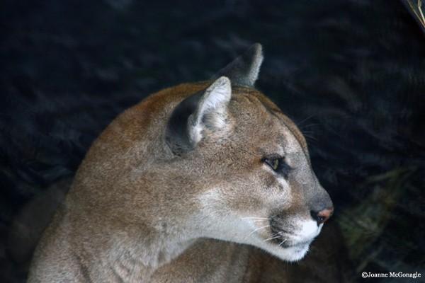 Cougar Columbus Zoo