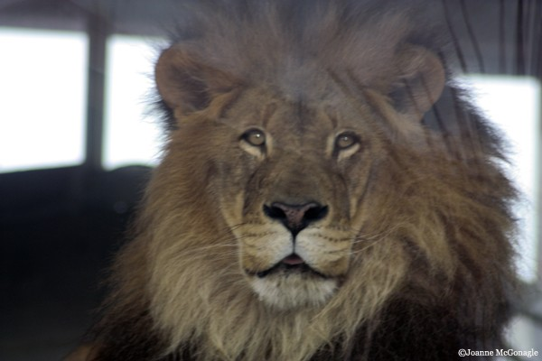 Lion pensive at Columbus Zoo