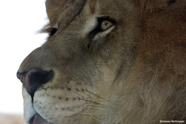 Lion Profile close up