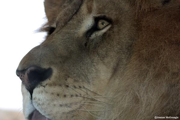 Lion Profile close up