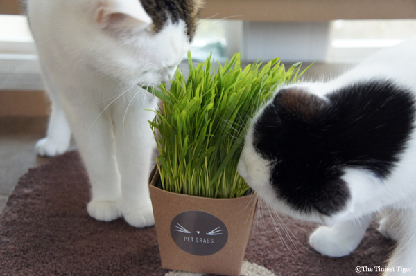 Cats Party With Whisker Greens #PetGrass