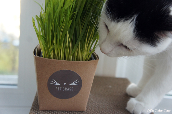 Cats Love Whisker Greens #PetGrass
