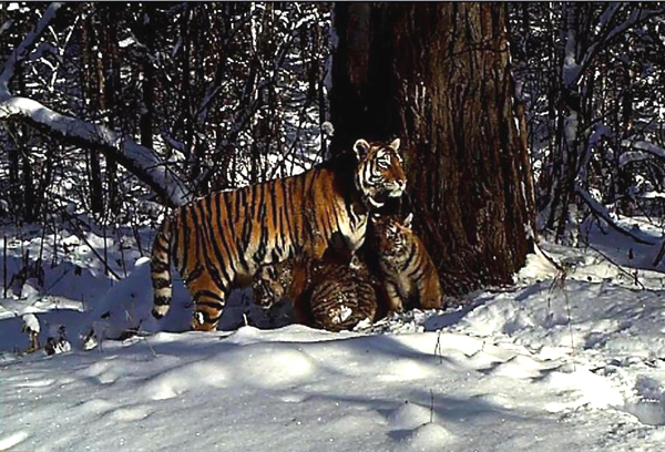 Cinderella Gives Birth and New Hope For Amur Tigers
