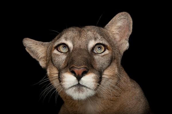 Florida Panther by Joel Sartore