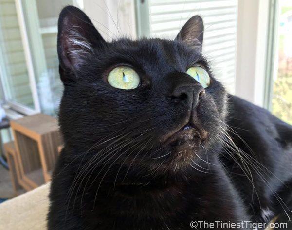 Mercy, black cat looking up