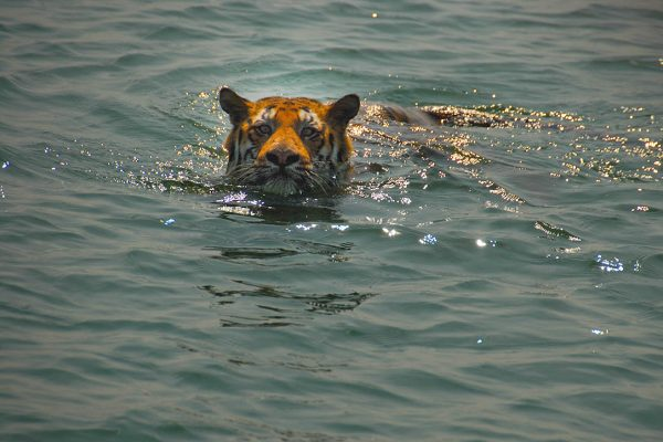 Bengal tiger swimming in the Sundarbans © Chiranjib Chakraborty/WWF-India