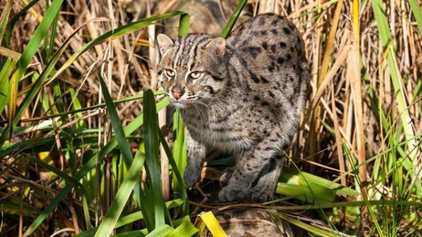 Fishing Cat Hunting in Long Grass Prionailurus Viverrinus