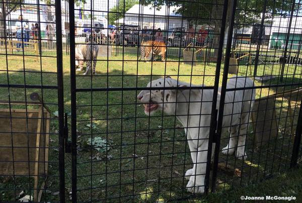 PCF 3 tigers panting