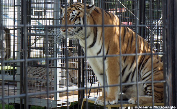 tiger in enclosure