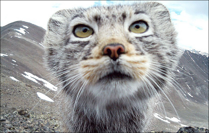 Pallas's Cat: One of the World's Most Secretive Cats