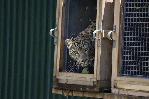 Leopard Russian Caucasus WWF