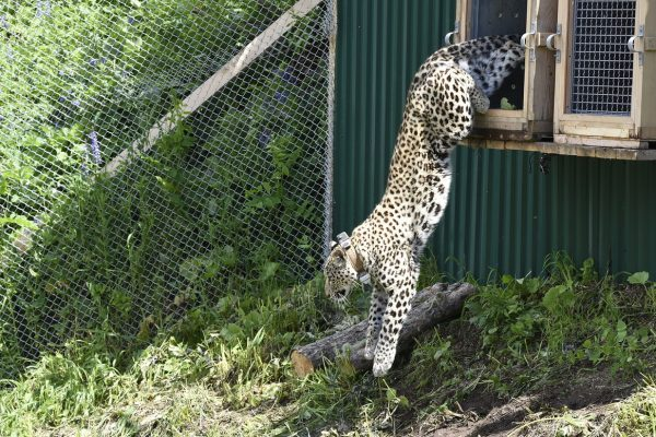 Leopard release into the Caucasus