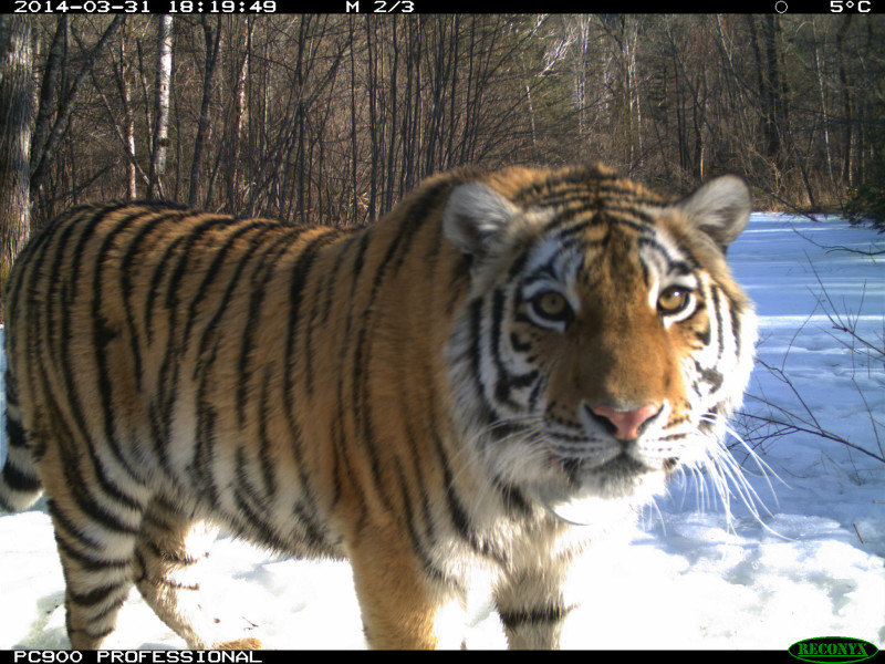 Amur Tiger Cinderella Begins New Chapter.  Mother and Cubs Are Doing Fine