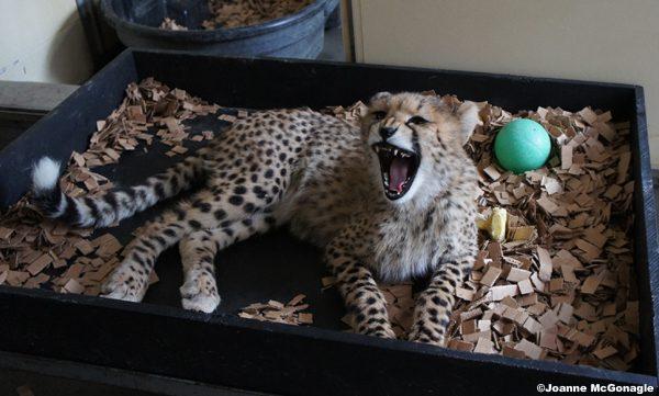 cheetah cub yawn
