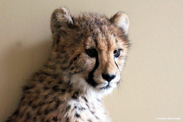 Cheetah cub Cinti zoo